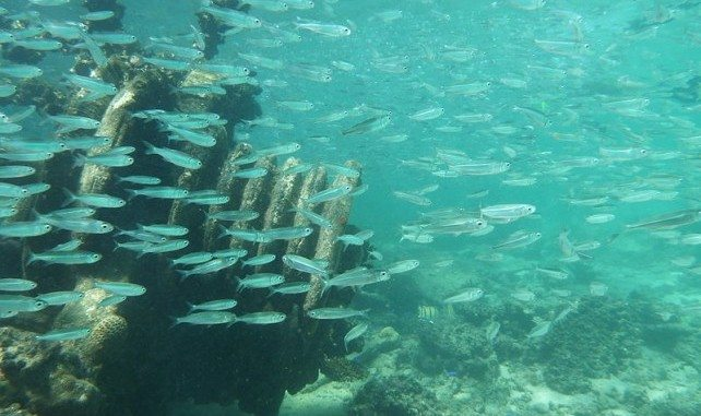 Anchovies on Finns wreck